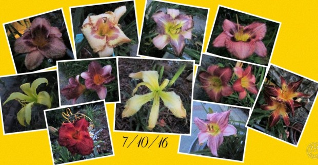 Collage 2016-07-10 Daylilies@Dusk