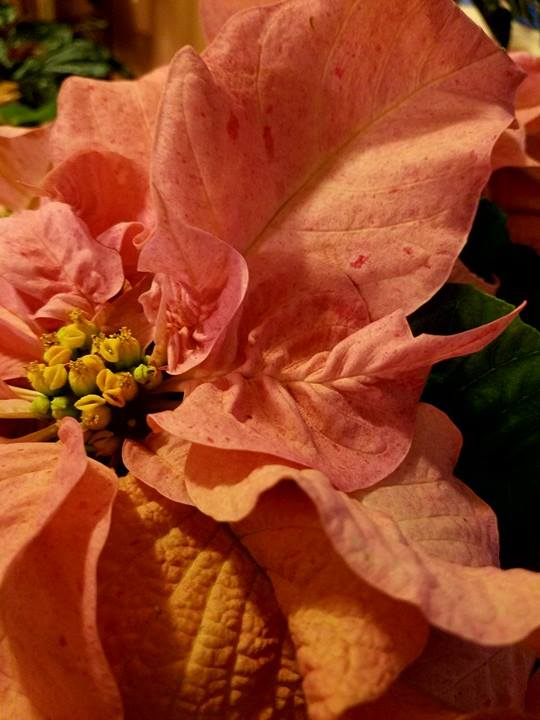 dapple-pink
