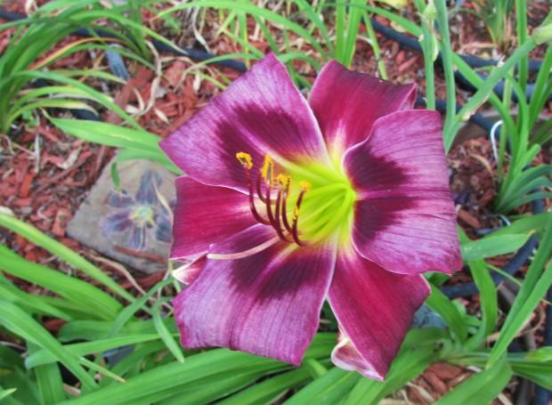PurpleCornDancer8.8.2.jpg