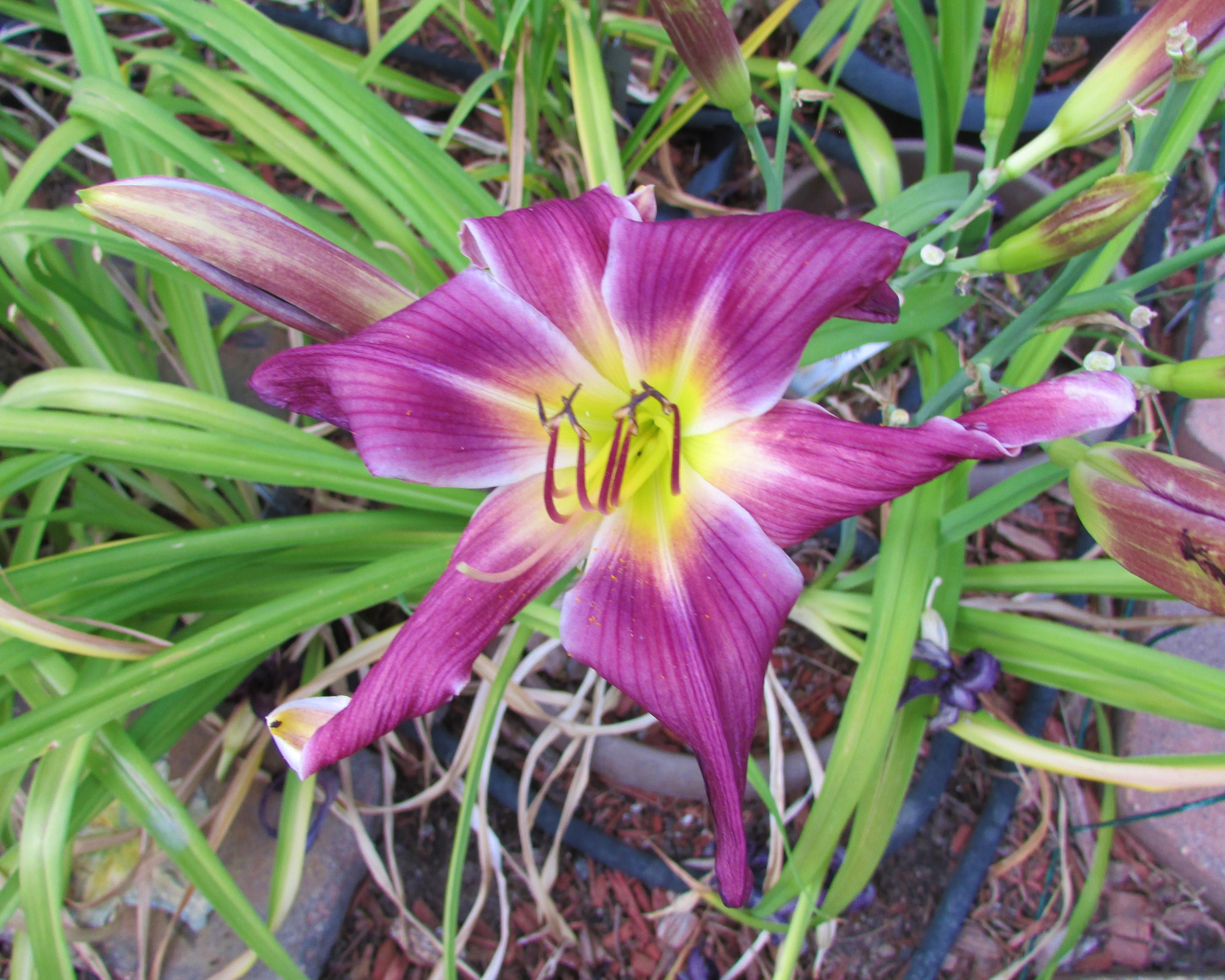 PurpleCornDancer8.21.2.jpg